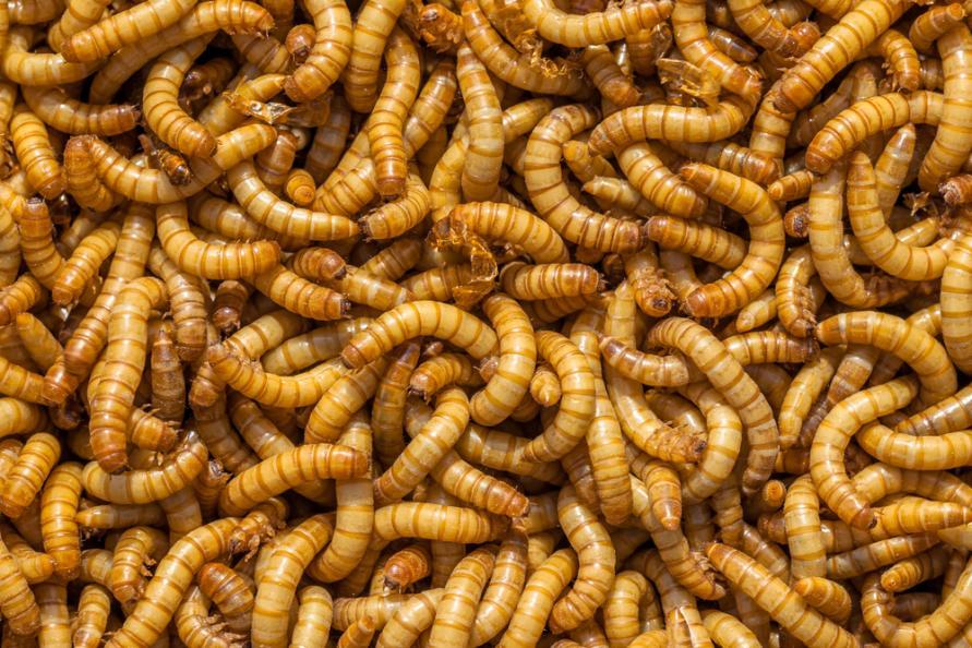 Bild på kryllande mjölmaskar.
