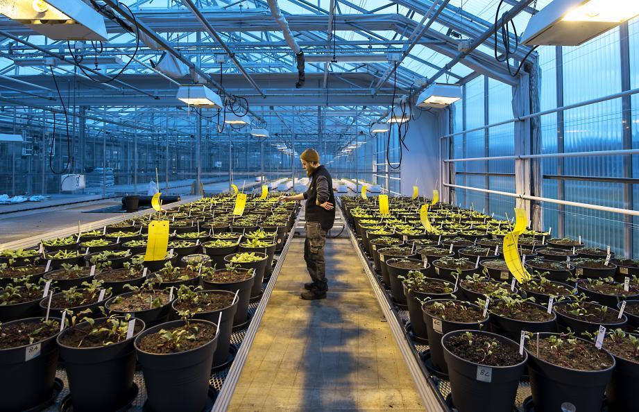 Odlingen utförs i växthus på SLU (Sveriges Lantbruksuniversitet) i Alnarp. Foto: Anna Sigge