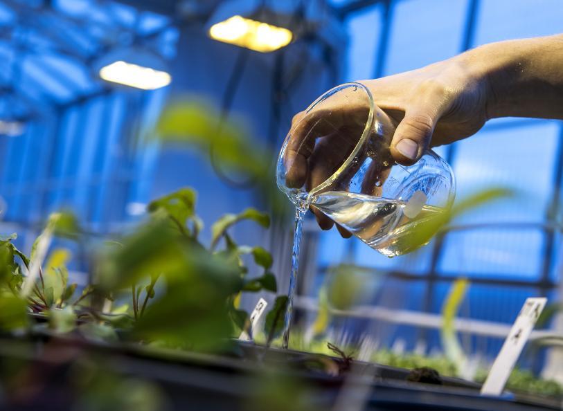 Växterna vattnas med en given mängd två gånger i veckan. Foto: Anna Sigge